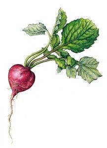 le radis noir est un crucifère riche enfibre, qui agit efficacement contre les troubles intestinaux, et la maladie