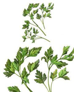 bon détoxifiant, le persil a une très forte teneur en potassium, qui favorise un bon transit intestinal.