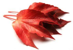 Les feuilles, les pépins et les fruits de la vigne protègent le foie, drainent les reins et renforcent les vaisseaux capillaires, grâce, notamment, à la présence d'antioxydants (le resvératrol, les oligo-proanthocyanidines)