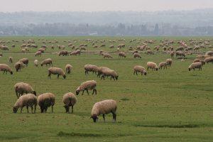 Les prés-salés de la baie de somme et les agneaux qui s'y repaissent