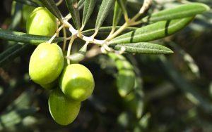 allergie respiratoire olivier